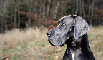 Great Dane Adoption Rescue Danes In Distress Ontario