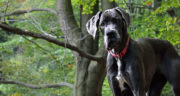 great-dane-2793816